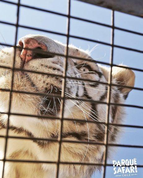 Tigre parque safari