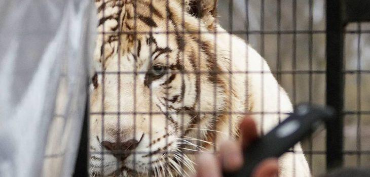 Tigre parque safari ataque