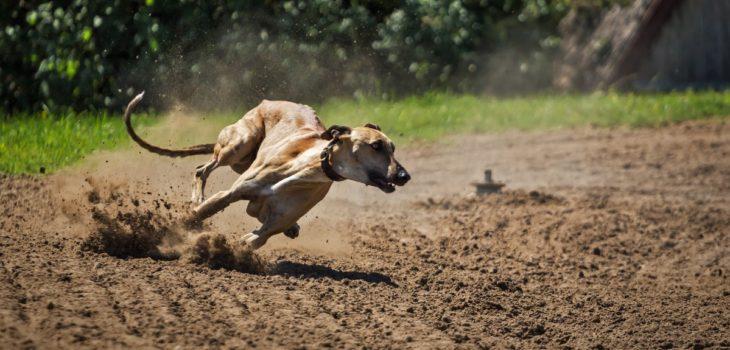 Cámara rechazó proyecto que buscaba prohibir las carreras de perros: no consiguió quórum necesario