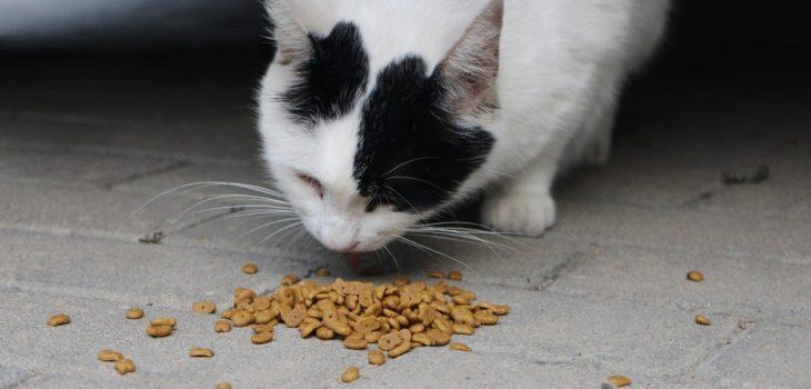 gatos comida estudio