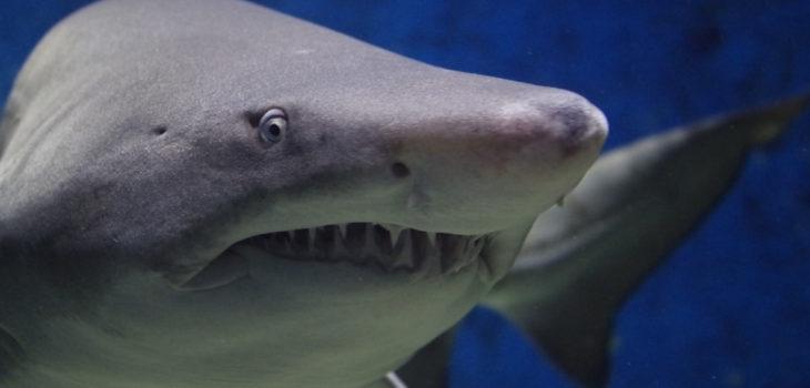 mordedura de tiburón